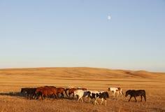 在大草原的马 库存照片