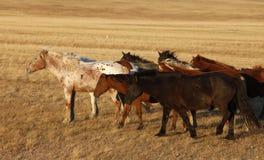 在大草原的马 免版税库存照片