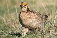 在大草原的统治一点草原鸡 免版税图库摄影