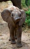 在大草原的婴孩大象 特写镜头 闹事 肯尼亚 坦桑尼亚 serengeti 马赛马拉 免版税库存照片