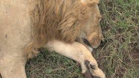 在大草原的死的狮子 影视素材