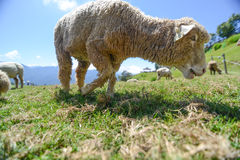 在大草原的绵羊Cingjing农场的 库存图片