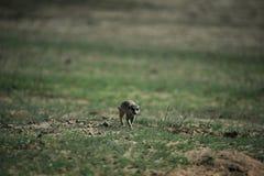 在大草原的Meerkat在纳米比亚 免版税图库摄影
