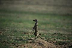 在大草原的Meerkat在纳米比亚 免版税库存照片