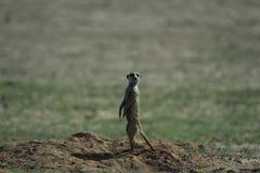 在大草原的Meerkat在纳米比亚 免版税库存图片