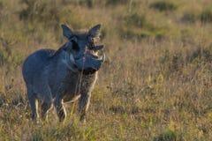 在大草原的Warthog 免版税库存图片