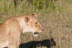 在大草原草背景的幼小雌狮 免版税图库摄影
