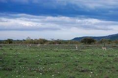 在大草原马塞人玛拉国家储备,肯尼亚的野生羚羊 库存照片