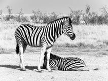 在大草原,埃托沙国家公园,纳米比亚,非洲的两匹斑马 库存图片