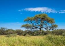 在大草原,经典非洲风景的树 图库摄影