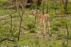 在大草原, kruger bushveld,克鲁格国家公园,南非的飞羚 图库摄影