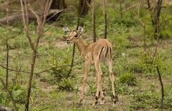 在大草原, kruger bushveld,克鲁格国家公园,南非的飞羚 免版税库存照片