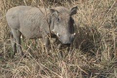 在大草原sunn的干草中站立的非洲野猪属 免版税库存照片