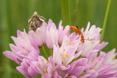 在大蒜的四被察觉的飞蛾和战士甲虫 图库摄影
