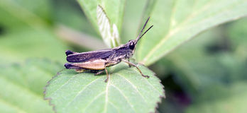 在大西洋森林里看见的蚂蚱在市区 免版税图库摄影