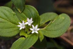 在大西洋沿岸森林残余看见的小型花  图库摄影