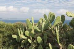 在大西洋海岸的巨大的仙人掌 免版税库存照片