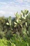 在大西洋海岸的巨大的仙人掌 库存照片