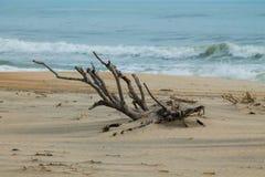 在大西洋海滩的漂流木头 库存照片