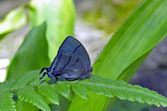 在大西洋的绿色背景的美丽的蓝色蝴蝶 库存图片