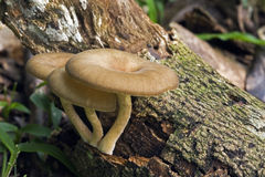 在大西洋雨林地板上的真菌 库存照片