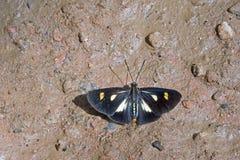 在大西洋雨林残余的巴西蝴蝶  库存照片