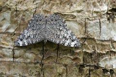 在大西洋雨林残余看见的灰色薄脆饼干蝴蝶  库存图片