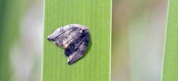在大西洋雨林残余看见的巴西飞蛾  库存图片