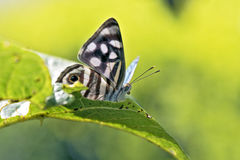 在大西洋雨林残余看见的巴西蝴蝶  库存图片