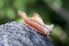 在大西洋雨林片段的蝴蝶毛虫 库存图片