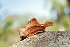 在大西洋雨林片段的蝴蝶毛虫 免版税库存照片