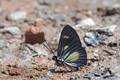 在大西洋雨林的巴西蝴蝶 免版税库存照片