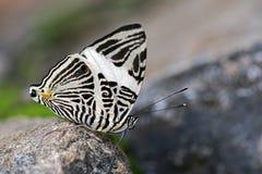 在大西洋雨林的巴西蝴蝶Colobura dirce 图库摄影