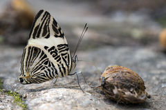 在大西洋雨林的巴西蝴蝶Colobura dirce 免版税库存照片