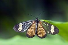 在大西洋雨林看见的巴西蝴蝶 免版税库存图片