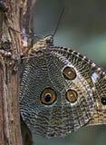 在大西洋雨林看见的巴西蝴蝶 库存照片