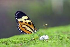 在大西洋雨林看见的巴西蝴蝶 免版税图库摄影