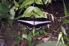 在大西洋Rai看见的巴西黑白蝴蝶 免版税图库摄影