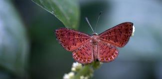 在大西洋Rainfores的残余看见的巴西蝴蝶 图库摄影
