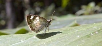 在大西洋Rainfores的残余看见的巴西蝴蝶 库存图片