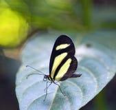 在大西洋Rainfores的残余看见的巴西蝴蝶 免版税库存图片