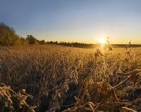 在大豆领域的秋天早晨 免版税库存照片