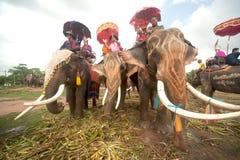 在大象的后面节日的整理游行 库存照片