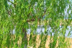 在大运河附近出生地的杨柳  库存图片