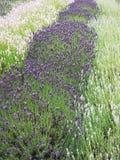 在大量的淡紫色灌木在中间夏天 免版税库存图片