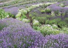 在大量的淡紫色灌木在中间夏天 免版税库存照片