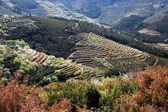 在大阳台的樱桃和橄榄耕种 免版税库存照片
