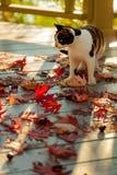 在大阳台的滑稽的猫坐红槭在灰色离开求爱 免版税库存照片