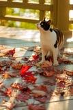 在大阳台的滑稽的猫坐红槭在灰色离开求爱 图库摄影