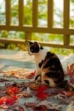 在大阳台的滑稽的猫坐红槭在灰色离开求爱 库存图片